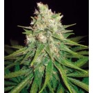 Mazar x Great White Shark (Medical) (3F)